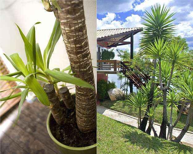 Facilmente adaptável, a iúca vai bem em locais fechados e também resiste ao sol pleno - SXC.hu/Banco de Imagens/Jomar Bragança/Divulgação