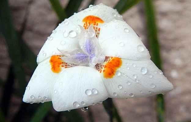 Extremamente resistentes, as moreias formam belos maciços e florescem durante bons períodos em todas as estações do ano - Lilian Miliauskas/Reprodução da Internet