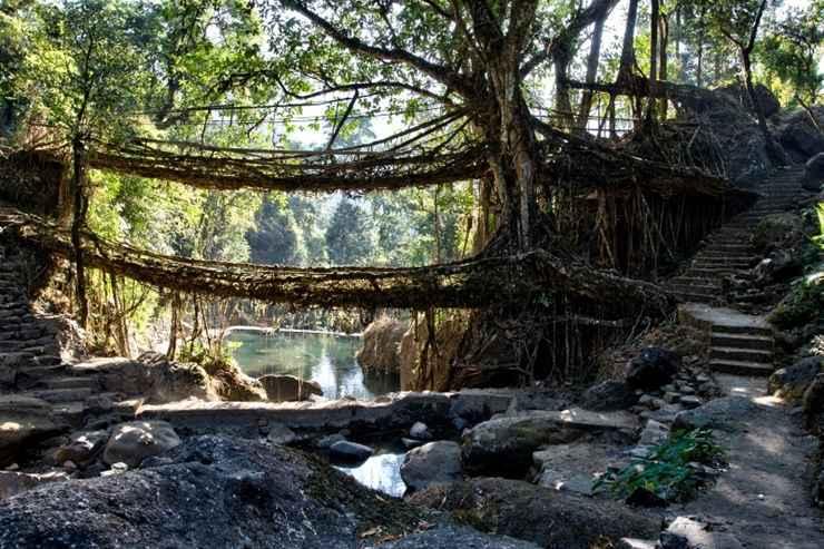 Ponte de raízes de figueira (Índia) - Reprodução / Internet